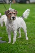 Rough-coated Jack Russell Terrier, Standing