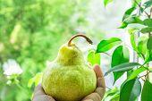 Young Caucasian Woman Holding In Hand Ripe Organic Green Yellowish Pear. Window Green Foliage Nature poster