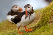 Atlantic Puffin Returning From Fishing Trip