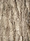texture of tree bark of willow, macro