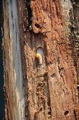 White Larva Of Woodworm Lives Under Pine Bark. Common Furniture Beetle. Insect Pest poster