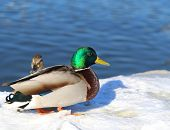 Large Photo Of Drake And Duck Sacred Sun River Winter poster