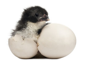 picture of baby animal  - Chick - JPG