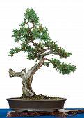Flaky Juniper As Bonsai Tree