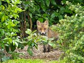 Red Fox Cub Hiding