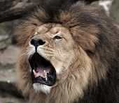 The Face Of A Lion With A Black Mane poster
