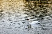 A Lone Swan Floating In A Pond With Sunset Lighting poster