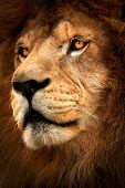 Lion. Symbol Might. Portrait Lion. Detail Face Lion. Photo From Animal Live. Lion With Black Backgro poster