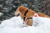 stock photo of avalanche  - Rescue dog searching people in the mountains after avalanche - JPG