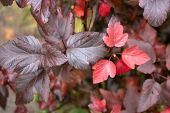 Brightly Colored Autumn Foliage. Fall Foliage On Natural Background. Red Pigment Foliage On Autumn L poster