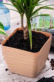 The Girl Transplanted Dracaena. Peas Atomizer, Indoor Plant In A Pot, Drainage On A Light Background poster