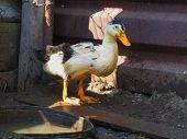 Duck On The Farm. Partridge Huddle. Ducks Quack On The Farm. Farm Birds Walk On The Ground. Photo Of poster