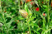 close view of poppy flower bud