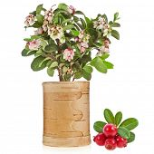 Flowering Cowberry Lingonberry with fresh wild berries birch  tues isolated on white