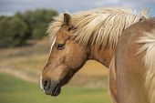 Portrait Of A Shetland Pony Horse With Beautiful Mane In Nature, Looking To The Side. No People. Hor poster