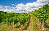 Wineyard Rows