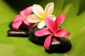 Tropical Plumeria Flowers On Stone