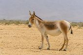 The Onager, Also Known As Hemione Or Asiatic Wild Ass, Species Of The Horse Family Native To Asia. Y poster