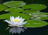 stock photo of water lily  - white water - JPG