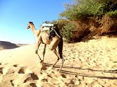 stock photo of hump day  - Single Humped Camel wondering off in the Sahara Desert in North Africa - JPG