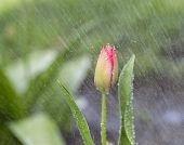 Sola flor en la lluvia de primavera