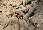Fiddler Crab (chiromanthes Eumolpe)