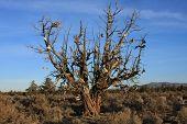 Alfalfa Shoe Tree
