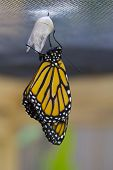 stock photo of chrysalis  - Monarch butterfly just emerged and hanging on chrysalis - JPG