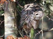 Barred Owl in Dappled Light