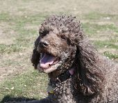 image of standard poodle  - Brown standard poodle head and shoulders panting - JPG