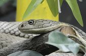 stock photo of king cobra  - king cobra a world biggest venom snake - JPG