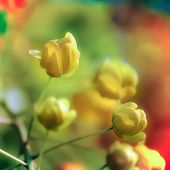 stock photo of cassia  - A row of Cassia Fistula or golden shower tree