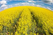 field of rapeseed with beautiful cloud - plant for green energy