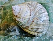 Sea Snail Shell