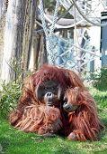 Bornean Orangutan in zoo