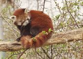 Red panda or shining cat
