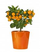 stock photo of tangerine-tree  - Calamondin in flowerpot isolated on white background - JPG