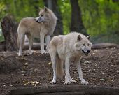 Horde of arctic wolves in a zoo