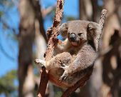 foto of eucalyptus trees  - Australian koala relaxing in tree branch fork of eucalyptus gum tree