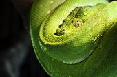 picture of green tree python  - beautiful green tree python in a zoo - JPG