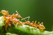 picture of aphid  - Red ant and aphid on the leaf in the nature