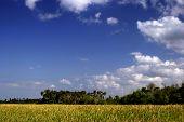 Florida Rohrkolben Himmel