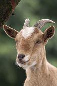 foto of loach  - Goat under a tree - JPG