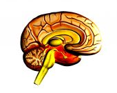 Brain 3 Hm
