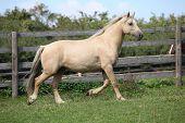 Beautiful Palomino Mare Wunning On Pasturage