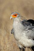 Portrait of a secretary bird (Sagittarius serpentarius), Kalahari, South Africa