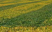 stock photo of soybeans  - Ribbons of green and yellow soybean leaves decorate a farmers field - JPG