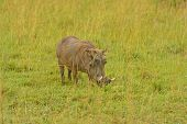 Large Warthog In The Savannah