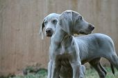 two weimaraner pups posing and playing