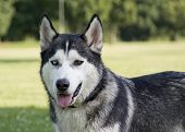 Husky With Differently Colored Eyes